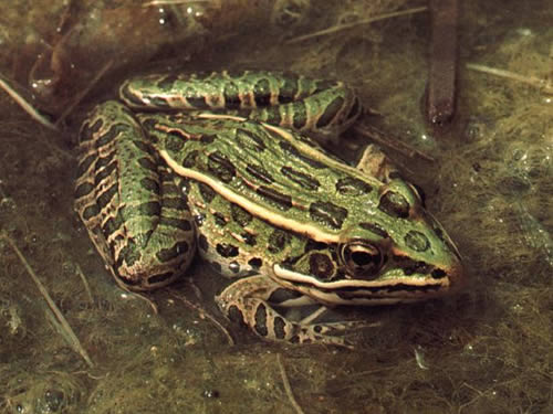 an introduction to the origins of leopard frog (photo by jeff leclere) introduction: leopard frogs are one of the most familiar frogs in the united states more than ten rana species are called by the common name leopard frog, some of which have large ranges, while others are confined to small isolated areas.