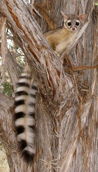 Ringtail in Zion National Park