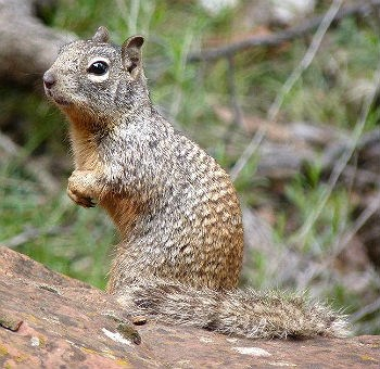 rock squirrel looking cute on a rock