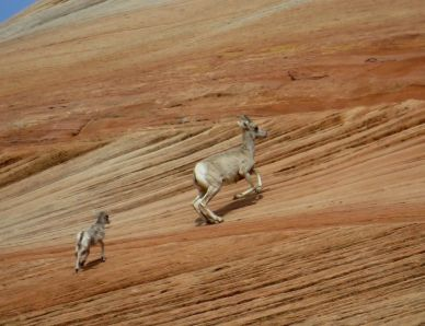 Bighorn sheep on east side of Zion National Park