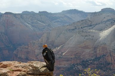 Condor Chicks Mother (#9) in Zion NPS photo