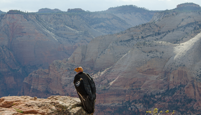 The female California condor looks out over Zion Canyon.