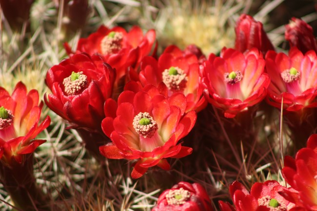 Bright red flowers on the claret cup cactus